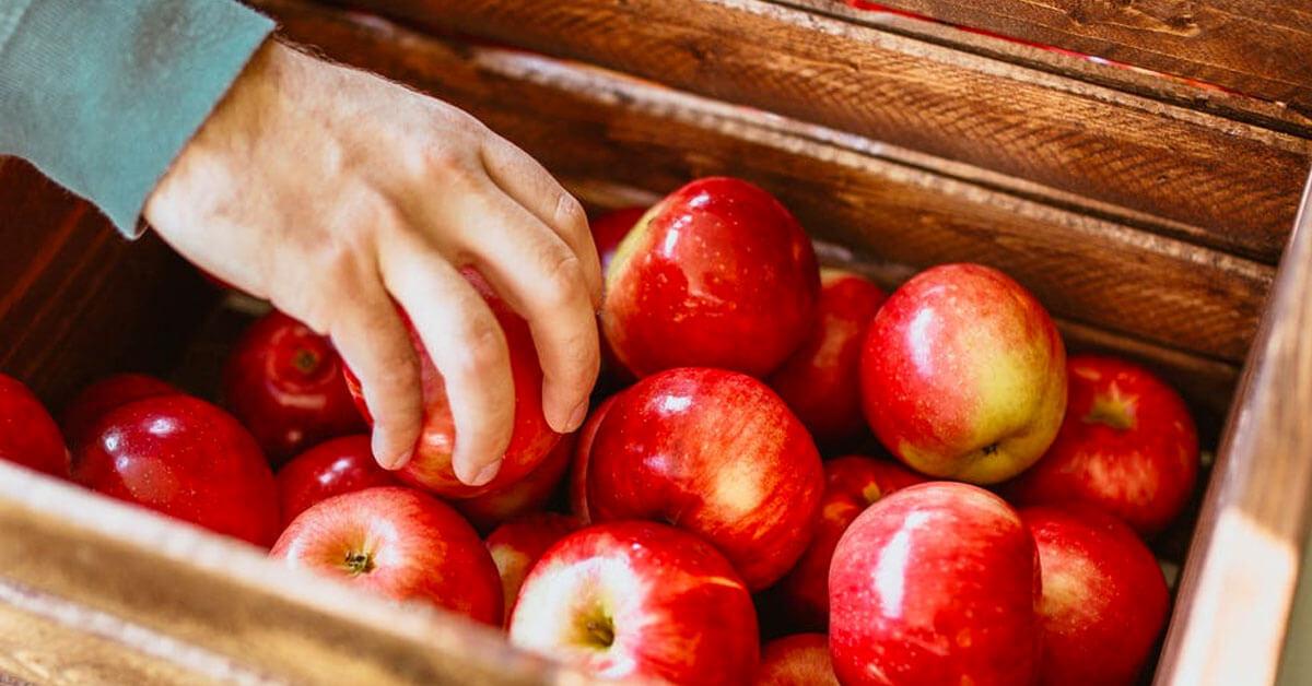 Picking organic apples